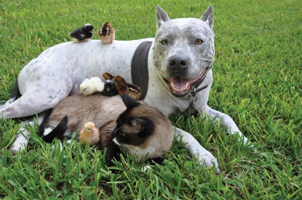 pit-bull-cat-and-chicks